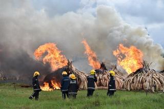 Imagini spectaculoase. De ce au fost arse 100 de tone de colti de elefanti