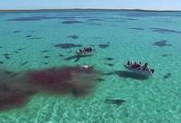 Scene SOCANTE filmate cu drona. Camera a surprins momentul in care este DEVORATA de 70 de rechini