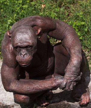 Curiozitati: Cimpanzeul chel care uraste copiii FOTO!