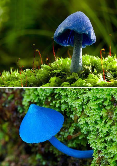 Ciuperca albastra