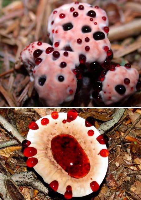 Ciuperca sangeroasa