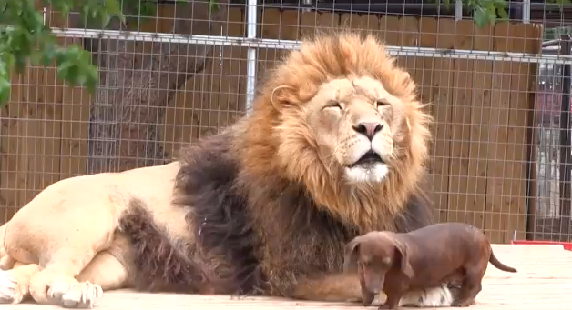 Intra de bunavoie in gura leului. Prietenia uimitoare dintre aceste doua animale cucereste sute de mii de oameni pe YouTube