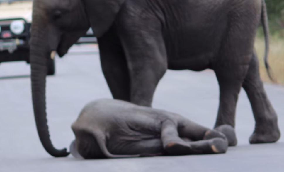 Un pui de elefant se prabuseste in mijlocul soselei. Reactia familiei lui, impresionanta - VIDEO