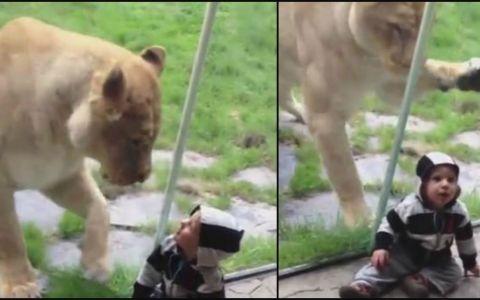 Si-a dus baietelul la gradina zoologica, dar nu s-a asteptat la asta. Ce s-a intamplat cand cel mic s-a apropiat de cusca leului