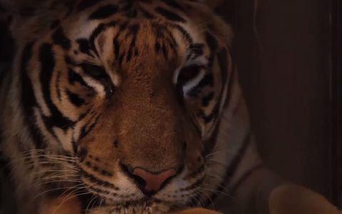 Un tigru si-a petrecut intreaga viata intr-o cusca murdara, la circ. Ce s-a intamplat cand gratiile de fier s-au deschis pentru prima oara