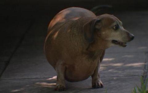 A devenit cunoscut pe internet drept Vincent, cainele obez. Cum arata acum patrupedul, dupa ce a slabit jumatate din greutatea sa corporala