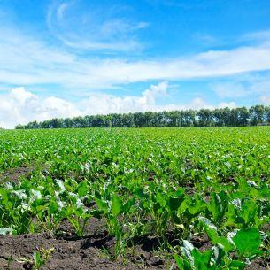 Este usor de plantat, rezista la inghet si poate aduce profituri record. Leguma redescoperita de agricultorii romani