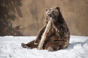 Prezicerea ursilor. Cat mai dureaza iarna in Romania