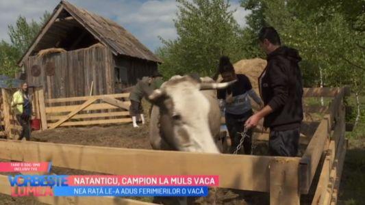 Natanticu, campion la muls vaca