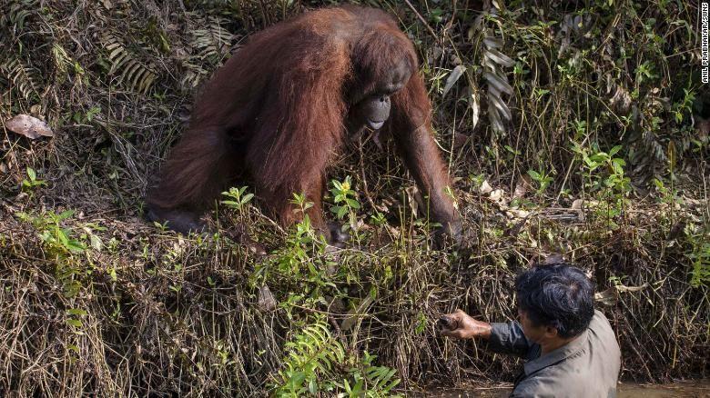 Care este povestea fotografiei emoționante în care un urangutan încearcă să ajute un om?