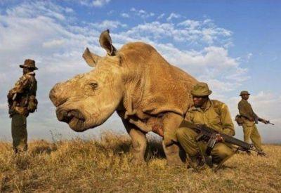 Acest rinocer este pazit de soldati inarmati 24 de ore din 24, 7 zile din 7! N-ai sa ghicesti cati mai traiesc pe pamant: FOTO
