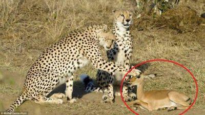 Povestea emotionanta a celor doi leoparzi care au respectat legea naturii! Motivul pentru care NU au mancat puiul de antilopa:
