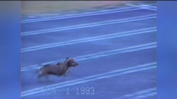 """Cainele atlet il intrece si pe Usain Bolt...dupa ce il musca :) El e cel mai """"nebun"""" patruped sportiv: VIDEO"""