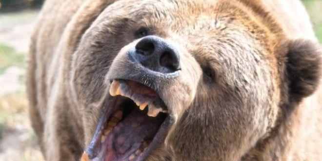 Un barbat si o adolescenta, atacati de urs in fata unui bloc din Fagaras. Unde plecase fata