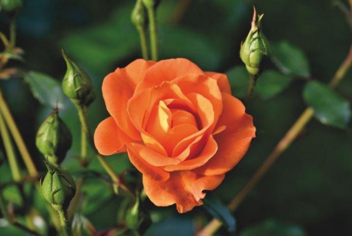 (P) Cele mai bune fungicide pentru tratarea trandafirilor de grădină