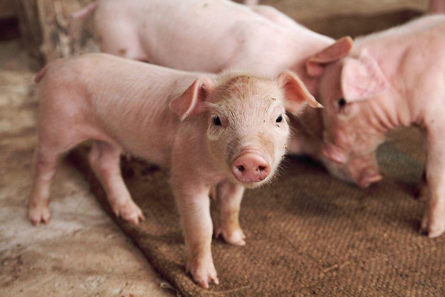 Noua bomba din industria alimentara: carne de porc, transformata in carne de vita cu ajutorul chimicalelor