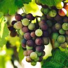 (P) 5 secrete de îngrijire a viței de vie pentru un vin savuros