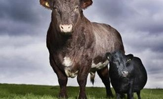 Curiozitati: Cea mai mica vaca din lume masoara 84 cm si este pasionata de muzica