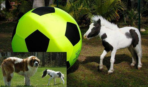 FOTO FABULOS!! Cel mai mic cal din lume s-a apucat de fotbal! E mai mic decat un CAINE :))