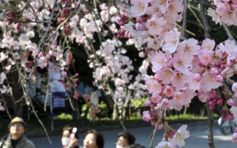 Sarbatoarea ciresilor infloriti, putin optimism pentru japonezi! FOTO