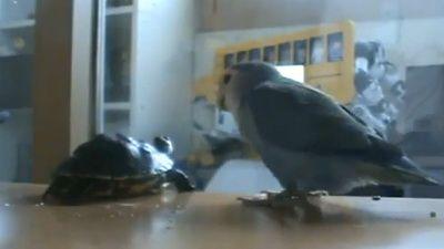 Broscuta testoasa agresata de papagal! Vezi VIDEO