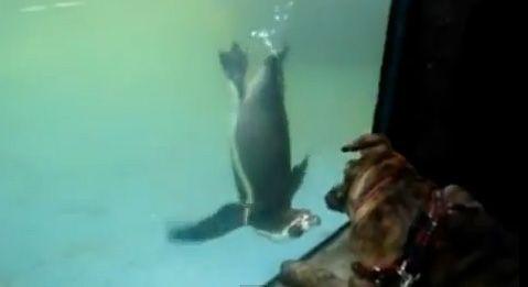 Reactia incredibil de haioasa a unui catel cand vede un pinguin. Stapanii lui nu se mai pot opri din ras