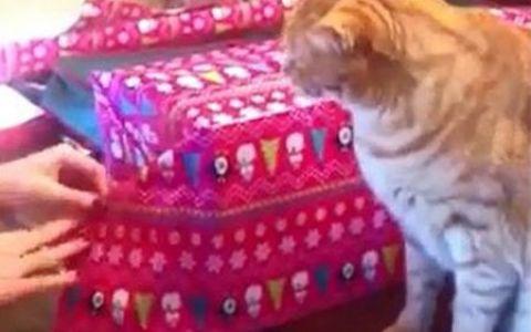 Pisicuta  Grinch . Nu vrea sub nicio forma sa isi lase stapana sa impacheteze cadoul de Craciun! VIDEO amuzant