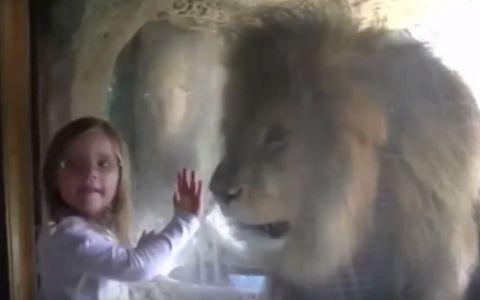 O fetita simpatica ii transmite unui leu un  sarut zburator . Ce se intampla in secunda urmatoare e viral - VIDEO