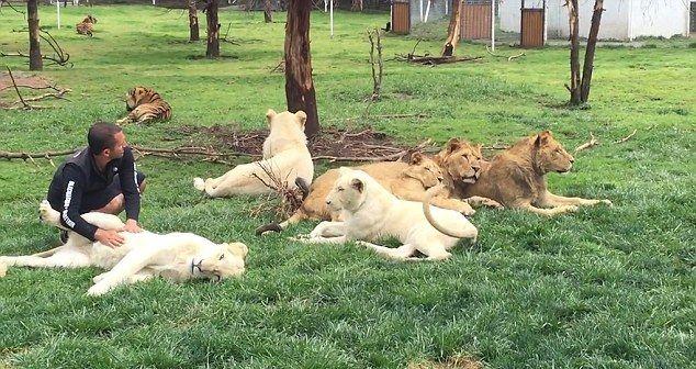 Se juca cu niste lei albi, cand a fost atacat de un leopard. Ce s-a intamplat la cateva secunde de la aceasta secventa