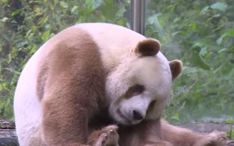 Povestea incredibila a singurului panda maro din lume: abandonat de mama si batut de ceilalti ursi din cauza culorii