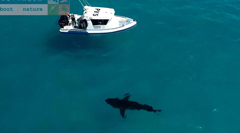 Ce se intampla cand un rechin urias apare intr-o zona unde se facea surfing! VIDEO