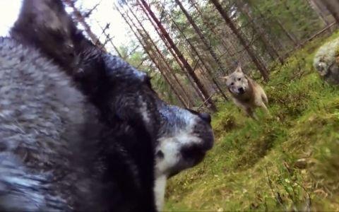 Incredibil! Un caine a inregistrat cu un GoPro momentul in care a fost atacat de doi lupi