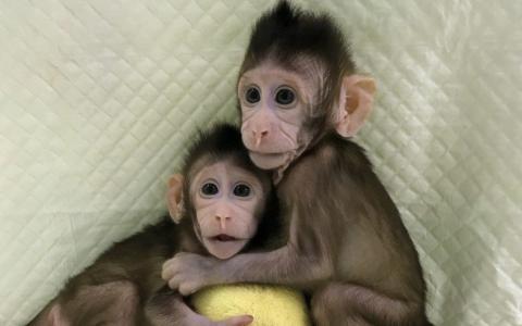 Oamenii de stiinta din China au clonat cu succes 2 maimute, iar intreaga lume este ingrijorata