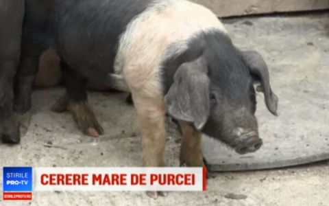Program pentru stimularea cresterii porcilor Mangalita si Bazna:  Au carnea ca somonul