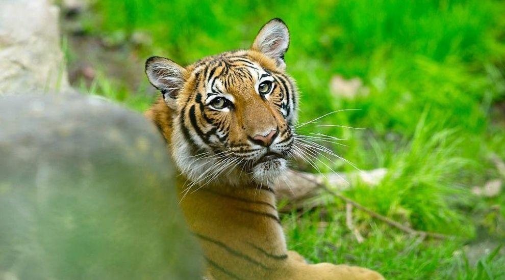 Primul animal sălbatic diagnosticat cu Covid-19, un tigru de la grădina zoologică din Bronx