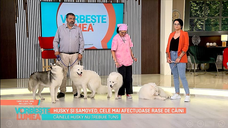 Samoyed și husky, cele mai afectuoase rase de câini. Ce trebuie să știe cei care își doresc un prieten patruped