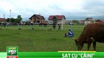 SUPER IMAGINI! Dinamo s-a antrenat printre VACI inainte de meciul cu Alba Iulia