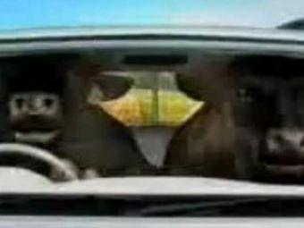 VIDEO/ Si taurii pot conduce o masina! La propriu. Vezi aici cea mai tare reclama!