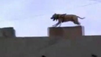 VIDEO: Cea mai tare demonstratie de Parkour ii apartine... unui caine!Uite ce figuri stie sa faca: