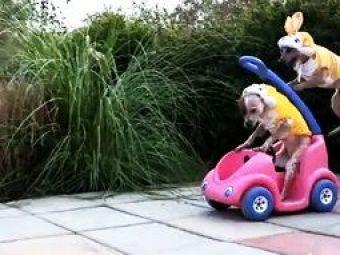 VIDEO :))) Cel mai tare echipaj de raliu Pastele asta: cainii cangur si pisica, mai tari decat iepurasul!