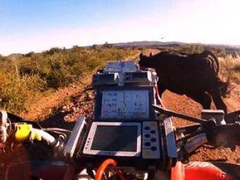 VIDEO: Un bou da peste o vaca in cel mai stupid accident! Boul e ok, vaca a fugit de la locul intamplarii!