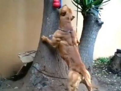 """Si-a indopat """"catelusul"""" cu ANABOLIZANTE si l-a transformat intr-o masina de ucis! Cum arata cainele CULTURIST: VIDEO"""