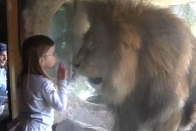 Moment de panica la o Gradina Zoologica! O fetita s-a apropiat prea mult de un leu! Ce s-a intamplat in clipa urmatoare