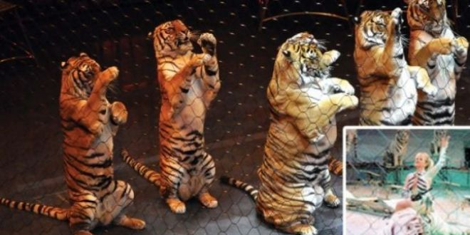 Moartea violenta a Lidiei Jiga, sfasiata de tigrul preferat
