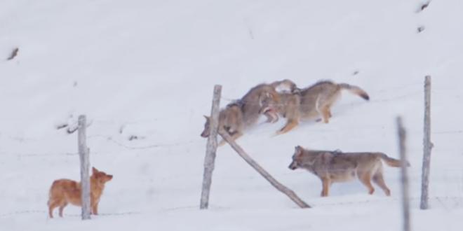 Imagini senzationale cu un caine incoltit de 3 lupi! Miscarea geniala prin care scapa de ei