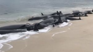 Peste 150 de balene au esuat pe o plaja din Australia de Vest. Ce au patit 135 dintre ele