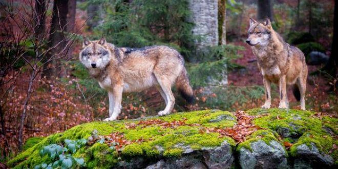 Fenomenul care ii uimeste pe cercetatori! Ce se intampla cu lupii de langa Cernobil?