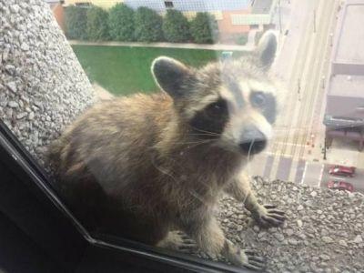 Momentul halucinant cand o femeie s-a trezit cu un raton la geam, la etajul 23! Cum a ajuns animalul acolo