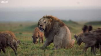 Momentul uluitor in care un leu disperat este incercuit si atacat de 20 de hiene! Finalul este halucinant!