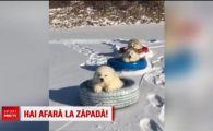 De la sanie cu zurgalai la cauciucul cu catei! Sunt ca niste bulgari de zapada, iar stapanul i-a scos pe partie | VIDEO